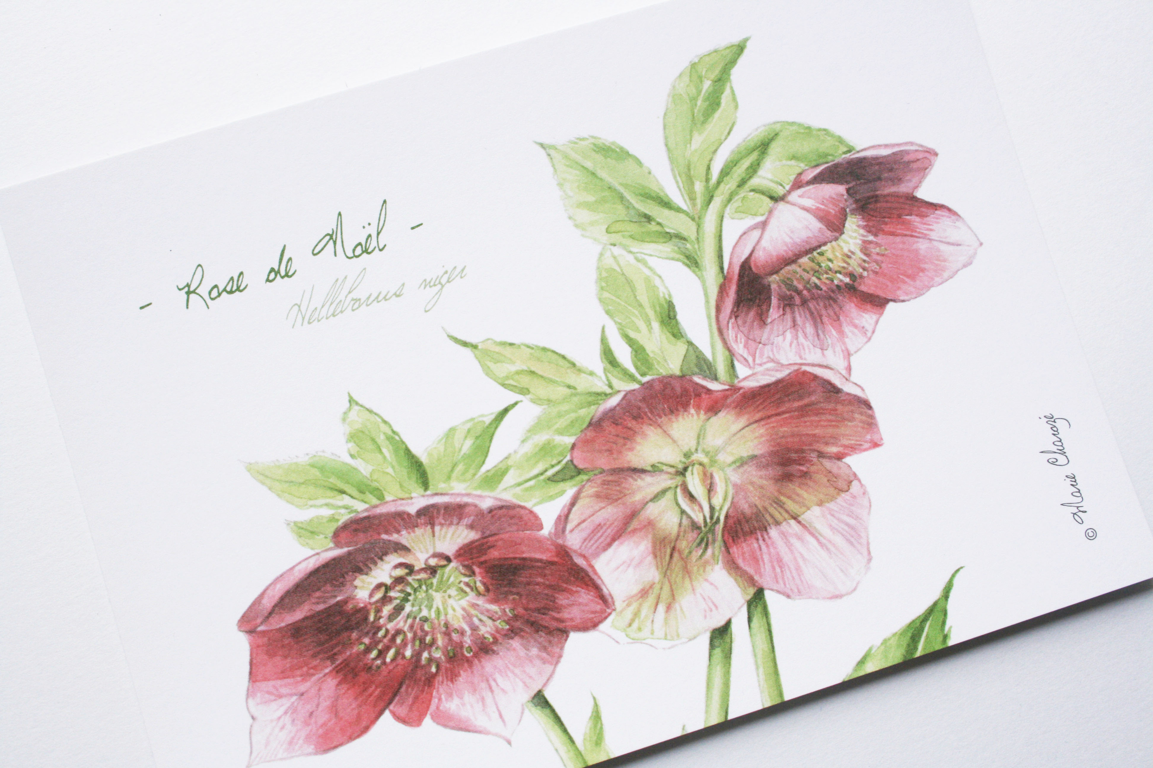 0166 Rose de Noël
