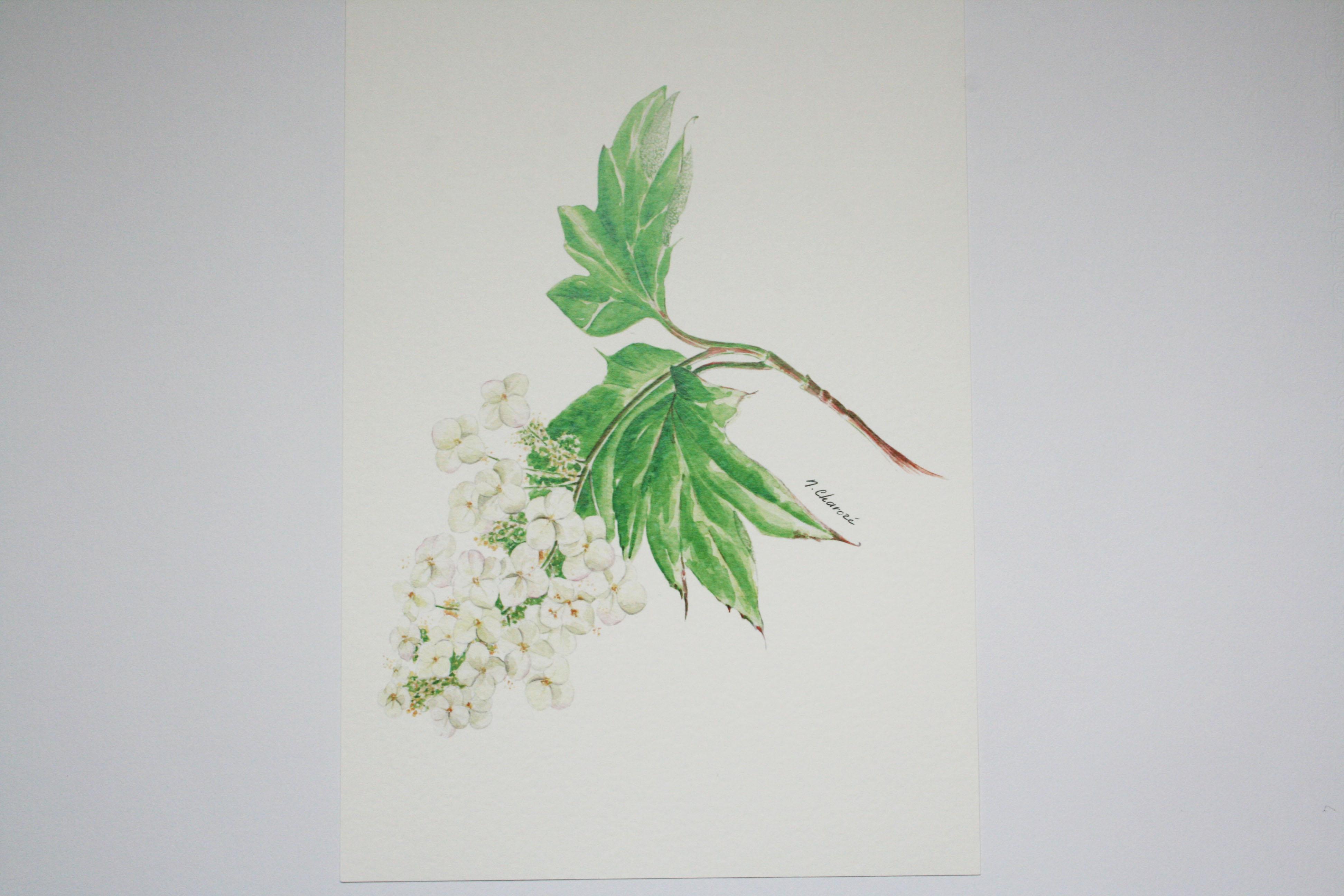 Hortensia à feuille de chêne