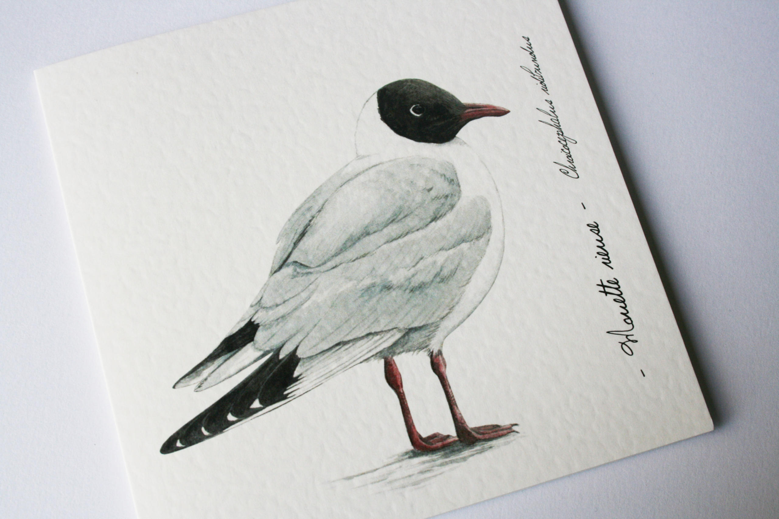 mouette rieuse 0532