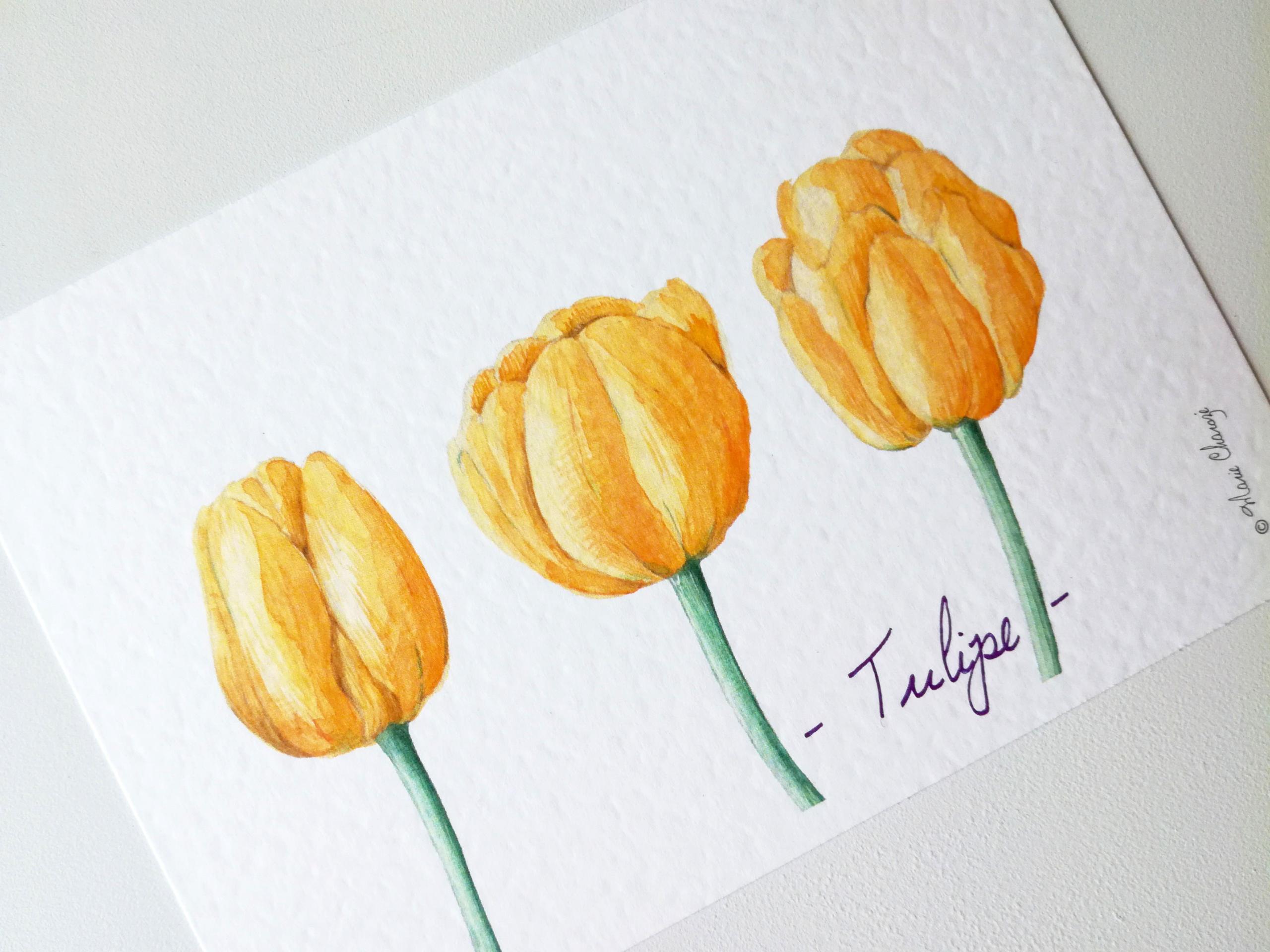 0197 Tulipe